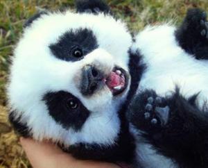 Bebe de raiola y panda.