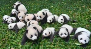 Mini Raiola y panda.